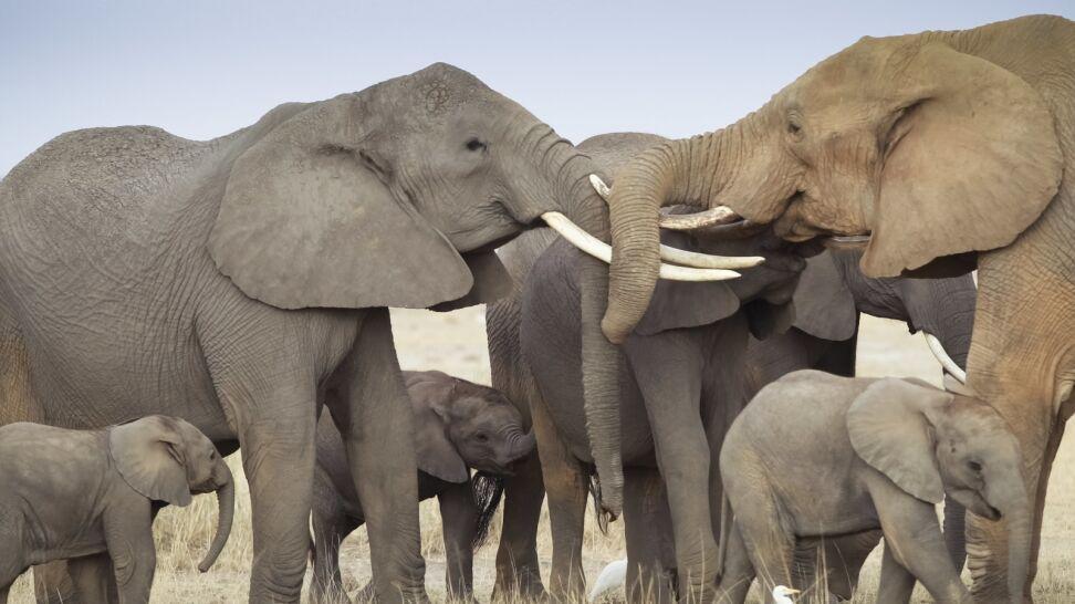 Trump zawiesza pozwolenie na import trofeów z upolowanych słoni