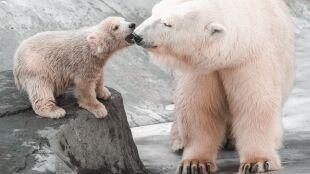 W rosyjskiej Arktyce rozpoczęto monitoring niedźwiedzi polarnych