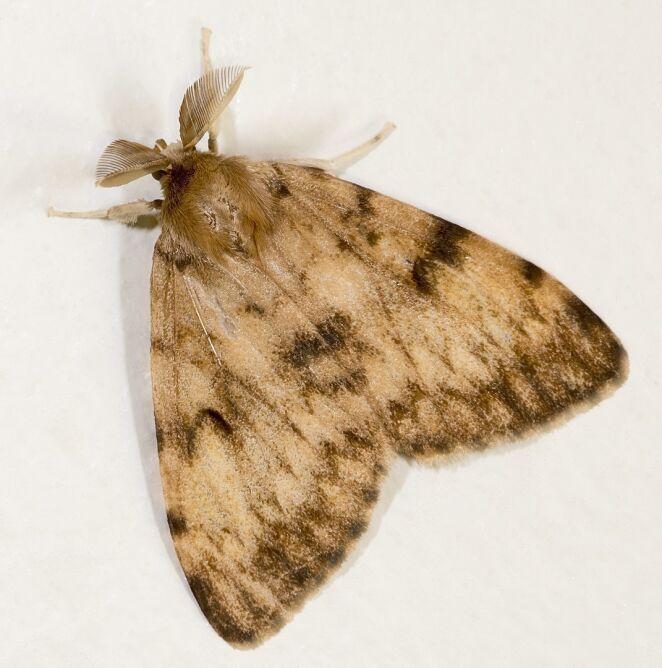 Lymantria dispar dispar (Wikipedia/Didier Descouens (CC BY-SA 4.0))