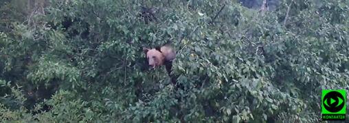 """Niedźwiedź na drzewie zajadał się liśćmi. """"Nie wychodziliśmy z samochodu. Woleliśmy nie ryzykować"""""""