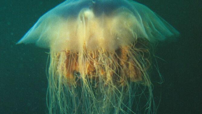Meduzy w Bałtyku. <br />Poparzyły 90 osób w Niemczech
