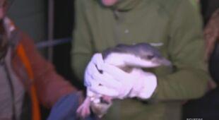 Dwójka pingwinów, która chowała się pod sklepem z sushi