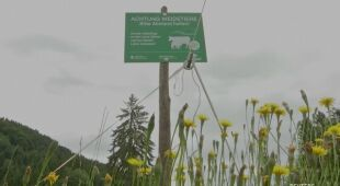Farmerzy ostrzegają przed alpejskimi krowami